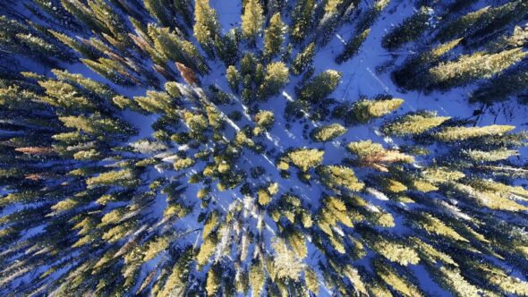 Drone Flying Over Snow Covered Pine Trees