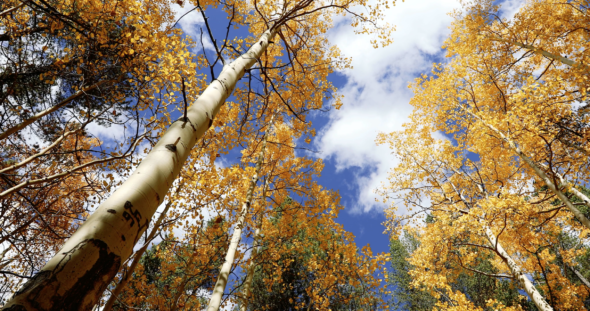 Aspen Trees During Autumn